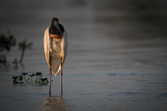 Jabiru standing in shallows in golden hour Royalty Free Stock Photos