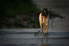 Jabiru standing in shallows in golden light Royalty Free Stock Images