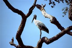 Jabiru Stork Royalty Free Stock Photos