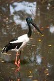 Jabiru stork Royalty Free Stock Photos