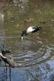 Jabiru stork Royalty Free Stock Image