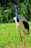 Jabiru Stork Bird Stock Images