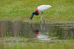 Jabiru stork catch the fish in small green grass lake. Wildlife Brazil, bird in march. Jabiru, Jabiru mycteria, black and white in. The green water with flowers Royalty Free Stock Photography