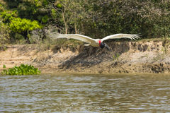 Jabiru Stork in Flight over River. The long wingspan of 2.3-2.8m of this Jabiru Stork is evident as it stretches and lifts it wings in flight over a river near Stock Image