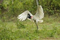 Jabiru Stork (Jabiru mycteria) Stock Image