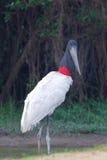 Jabiru Stork Royalty Free Stock Images