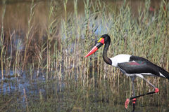 Jabiru storks setloglevel goes through the swamp in search of food Royalty Free Stock Image
