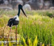 Jabiru-Vogel durch den Gelben Fluss Nordterritorium, Australien lizenzfreie stockbilder