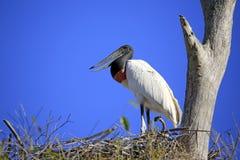 Jabiru in zijn Nest Royalty-vrije Stock Afbeeldingen