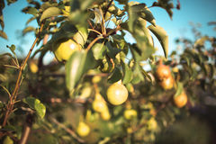 jabłka w ogródzie w jesieni Obraz Royalty Free