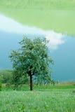 jabłoń Fotografia Stock