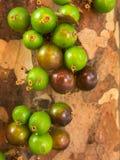 Jaboticaba brazilian tree with lot of green fruits on trunk stock image