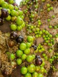 Jaboticaba brazilian tree with lot of green fruits on trunk Stock Photo