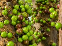 Jaboticaba brazilian tree with lot of green fruits on trunk Royalty Free Stock Image