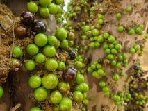 Jaboticaba brazilian tree with lot of green fruits on trunk royalty free stock photo