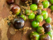 Jaboticaba brazilian tree with lot of green fruits on trunk Royalty Free Stock Photo