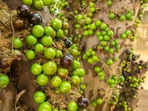 Jaboticaba brazilian tree with lot of green fruits on trunk Royalty Free Stock Images