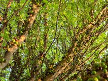 Jaboticaba brazilian tree with lot of green fruits on trunk royalty free stock photography