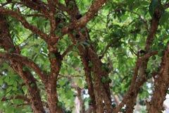 Jaboticaba Brazylijska owoc Obrazy Royalty Free