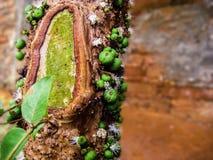 绿色jaboticabas 免版税图库摄影