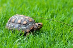 Jabuti / Turtle green and orange, quiet on the grass camouflaging with the landscape, with a fly on the head royalty free stock photos