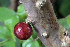 Jabuticaba, a Brazilian fruit royalty free stock images