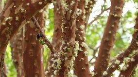 Jabuticaba fruit blossom stock footage