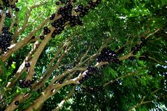 Jabuticaba or Jaboticaba tree full of purplish-black fruits. Jabuticaba, or Jaboticaba is a evergreen tree native to Brazil, Argentina, Paraguay, Peru and Stock Image