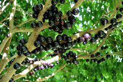 Jabuticaba or Jaboticaba tree full of purplish-black fruits. Jabuticaba, or Jaboticaba is a evergreen tree native to Brazil, Argentina, Paraguay, Peru and Royalty Free Stock Photos