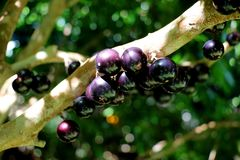 Jabuticaba or Jaboticaba tree full of purplish-black fruits. Jabuticaba, or Jaboticaba is a evergreen tree native to Brazil, Argentina, Paraguay, Peru and Stock Photo