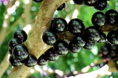 Jabuticaba or Jaboticaba tree full of purplish-black fruits. Jabuticaba, or Jaboticaba is a evergreen tree native to Brazil, Argentina, Paraguay, Peru and Stock Photos
