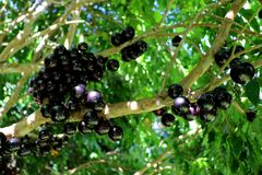 Jabuticaba or Jaboticaba tree full of purplish-black fruits. Jabuticaba, or Jaboticaba is a evergreen tree native to Brazil, Argentina, Paraguay, Peru and Royalty Free Stock Images