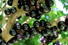 Jabuticaba lub Jaboticaba drzewo pełno czarne owoc zdjęcie stock