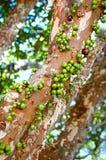 Jabuticabeira Fotografia de Stock
