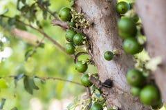 Jabuticabeira träd Arkivfoto