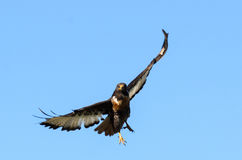 Jacal Buzzard in volo Fotografia Stock