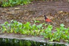 Jacana鸟在伯利兹 免版税库存图片