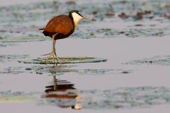 Jacana стоя на лилии воды Стоковые Фото