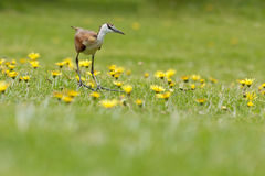 Jacana Royalty Free Stock Photo