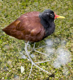 Jacana 5 Royalty Free Stock Image