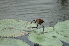 Jacana afrykański ptak Fotografia Stock