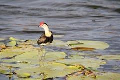 Jacana bird Stock Photos
