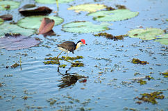 Jacana Royalty Free Stock Images