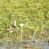 Jacana Crested гребнем, Река Хуанхэ, Австралия Стоковые Фотографии RF