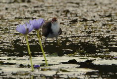 Jacana, das in einem billabong watet Stockfotografie