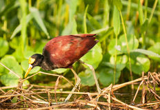 Jacana du nord Photo stock