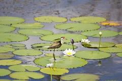 Jacana e flor do lírio Foto de Stock Royalty Free
