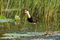 Jacana or Jesus Bird on lily pad royalty free stock photography