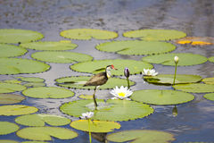 Jacana and lily flower Royalty Free Stock Photo