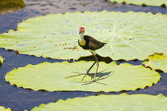 Jacana and lily flower Royalty Free Stock Photos